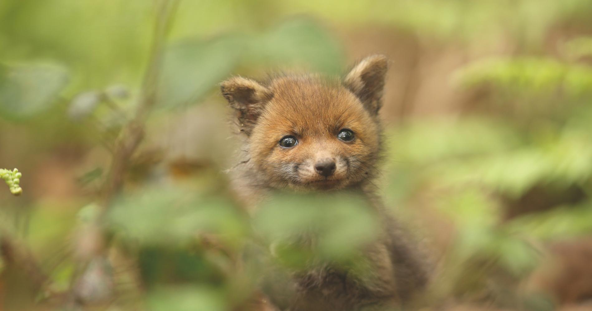 voorjaar jonge vossen cmyk EdJ